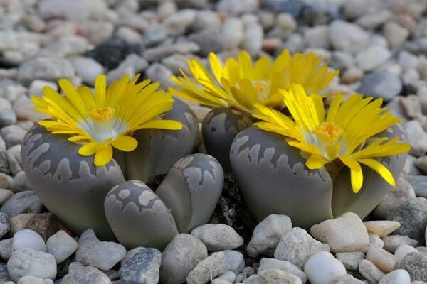 Цветущие живые камни