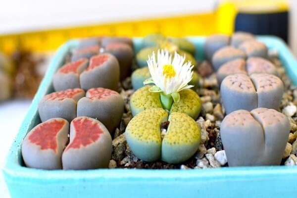 Экзотические живые камни - литопсы
