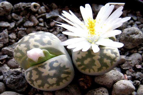 Цветение литопса