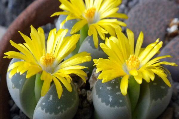 Живые камни литопсы - как ухаживать