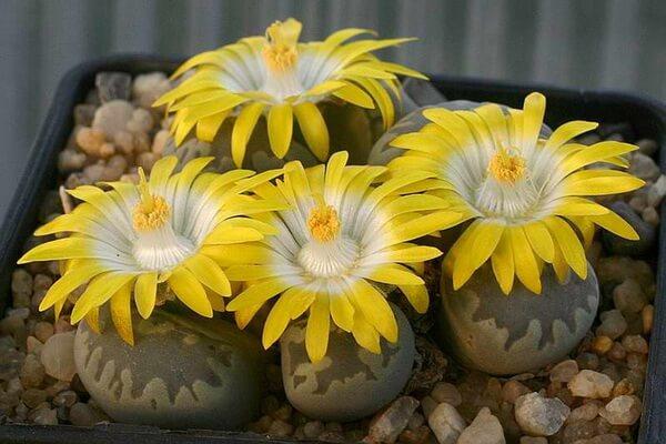 Советы по выращиванию литопсов в доме