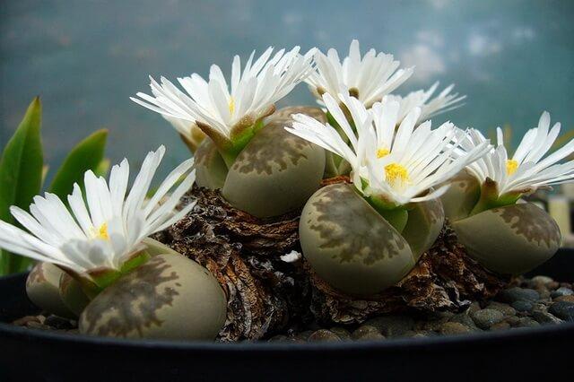Живые камни литопсы - экзотические растения из пустыни