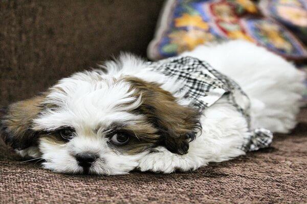 Самые лучшие породы собак для квартиры с фото и описанием - Лхасский апсо