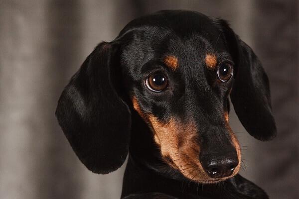 Самые лучшие породы собак для квартиры с фото и описанием - Такса
