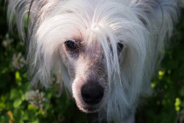 Самые лучшие породы собак для квартиры с фото и описанием - Китайская хохлатая собака