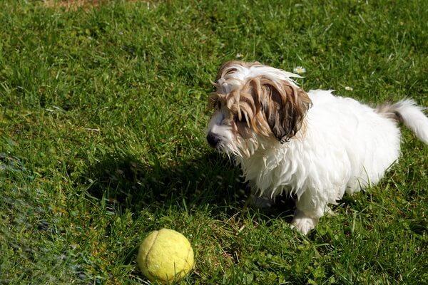 Самые лучшие породы собак для квартиры с фото и описанием - Котон-де-тулеар