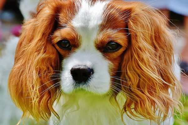 Самые лучшие породы собак для квартиры с фото и описанием - Кавалер кинг-чарльз-спаниель