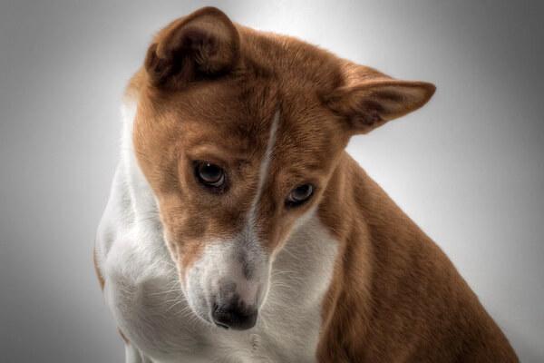 Самые лучшие породы собак для квартиры с фото и описанием - Басенджи