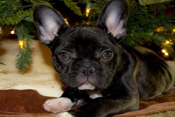 Самые лучшие породы собак для квартиры с фото и описанием - Французский бульдог