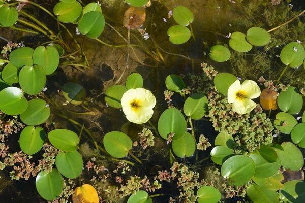 Красивые водные растения с фото и описанием - Гидроклейс кувшинковидный (водяной мак)