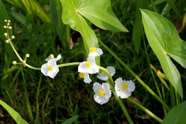 Красивые цветы для водоёмов - Стрелолист широколистный