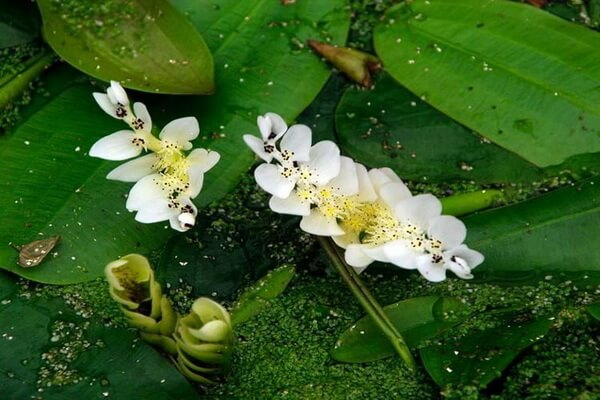 Красивые водные растения с фото и описанием - Апоногетон двуколосый (водный боярышник)