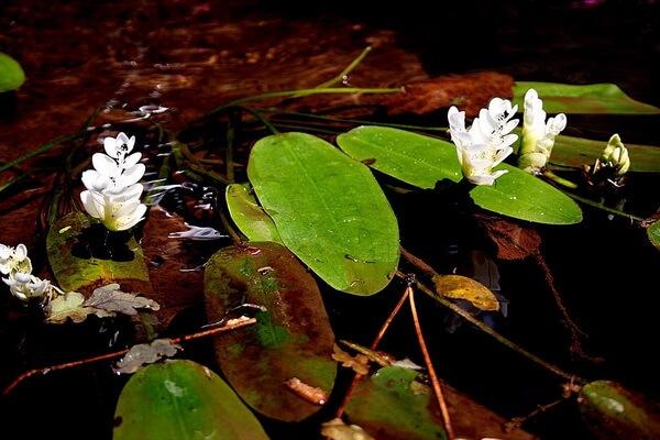 Красивые цветы для водоёмов - Апоногетон двуколосый (водный боярышник)