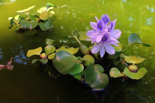 Красивые водные растения с фото и описанием - Эйхорния отличная (Водяной гиацинт)
