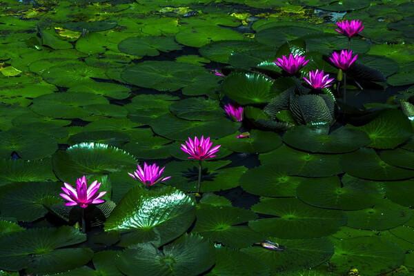Красивые водные растения с фото и описанием - Лотос