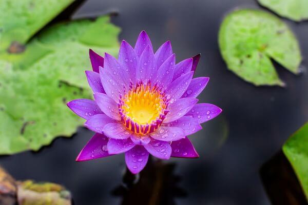 Красивые цветы для водоёмов - Лотос