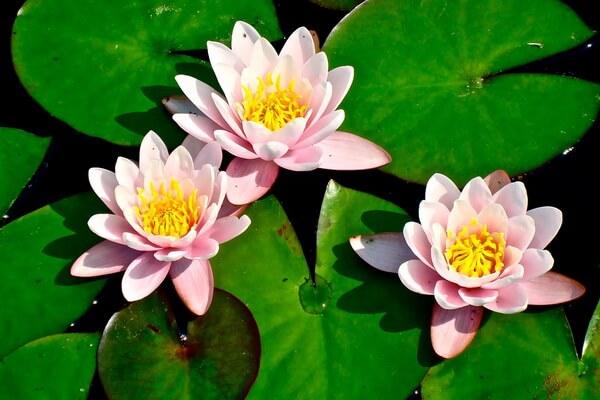 Красивые водные растения с фото и описанием - Кувшинки или водяные лилии