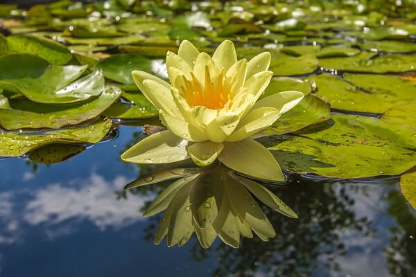 Красивые цветы для водоёмов - Кувшинка