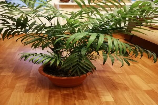 Можно держать пальму хамедорея в доме или нет - основные примеры и суеверия