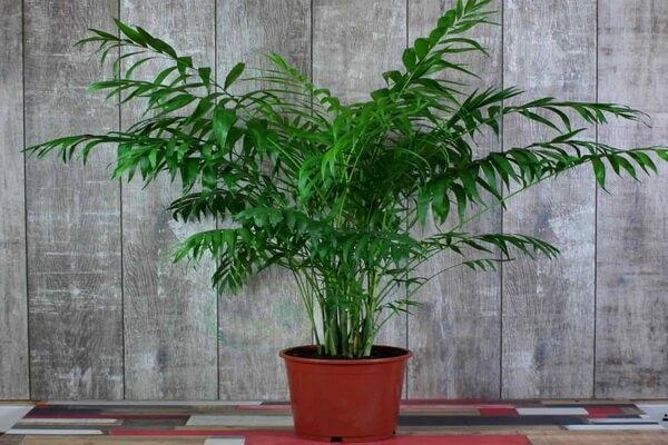 Пальма хамедорея в доме - польза и вред