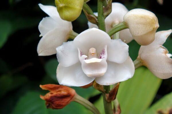 Необычные орхидеи - Орхидея Голубь