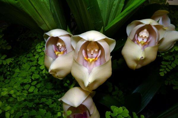 Необычные орхидеи - Орхидея Младенец