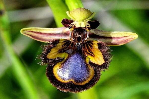 Необычные орхидеи - Орхидея Пчела