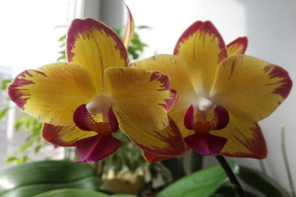 Необычные орхидеи - Орхидея Попугай