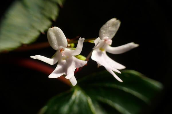 Необычные орхидеи - Орхидея Танцующие девочки