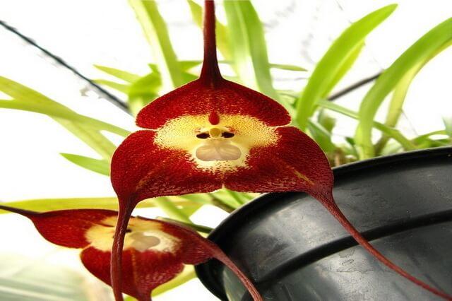 Обезьянья орхидея Dracula simia