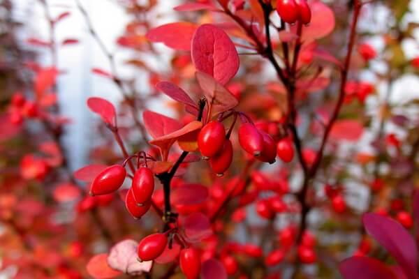 Красивые осенние кустарники с фото - Барбарис