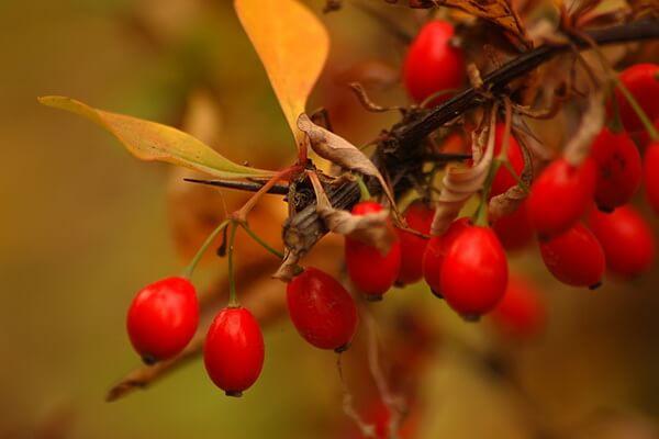Осенние декоративные кустарники с фото и описанием - Барбарис