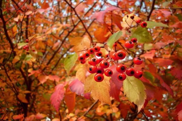 Осенние декоративные кустарники с фото и описанием - Боярышник