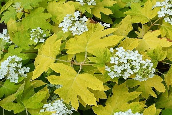 Осенние декоративные кустарники с фото и описанием - Гортензия дуболистная