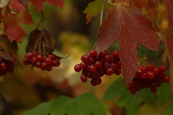 Осенние декоративные кустарники с фото и описанием - Калина