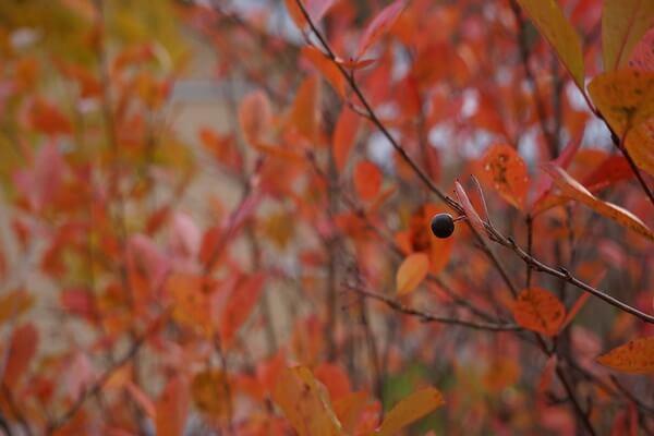 Осенние декоративные кустарники с фото и описанием - Арония или черноплодная рябина