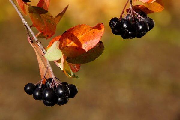 Осенние декоративные кустарники с фото и описанием - Арония