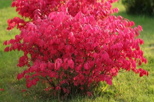 Осенние декоративные кустарники с фото и описанием - Бересклет