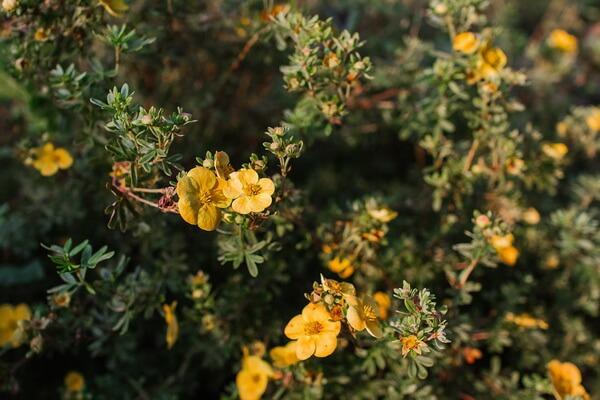 Осенние декоративные кустарники с фото и описанием - Лапчатка