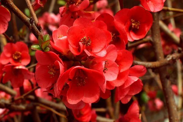 Осенние декоративные кустарники с фото и описанием - Хеномелес (весеннее цветение)