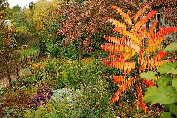 Осенние декоративные кустарники с фото и описанием - Сумах оленерогий в саду осенью