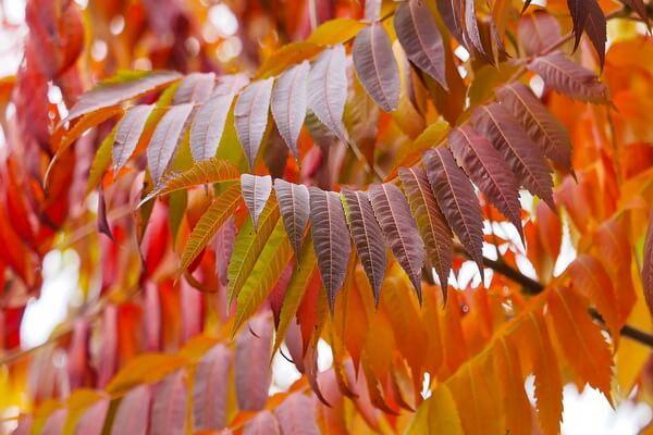 Осенние декоративные кустарники с фото и описанием - Сумах оленерогий