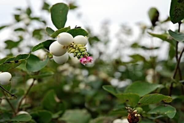 Осенние декоративные кустарники с фото и описанием - Снежноягодник