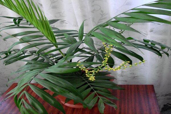 Пальма хамедорея - фото и описание растения