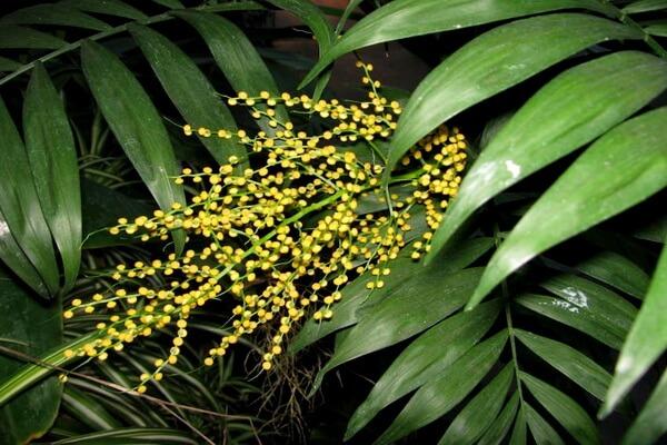 Как и когда сажать семена пальмы хамедорея в домашних условиях