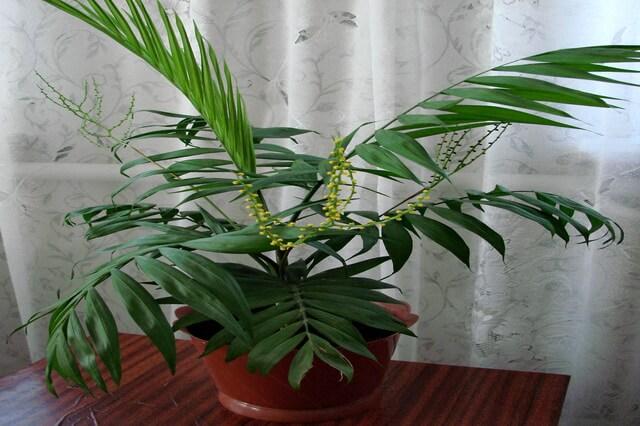 Пальма хамедорея - уход в домашних условиях