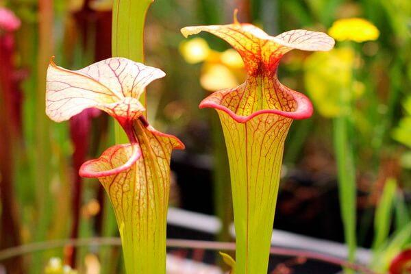 Плотоядные или насекомоядные растения с фото и описанием - Саррацения жёлтая или «жёлтый кувшинчик»