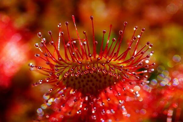 Плотоядные или насекомоядные растения с фото и описанием - Росянка круглолистная