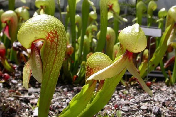 Плотоядные или насекомоядные растения с фото и описанием - Дарлингтония