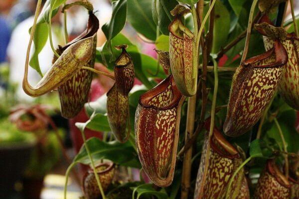 Плотоядные или насекомоядные растения с фото и описанием - Непентес
